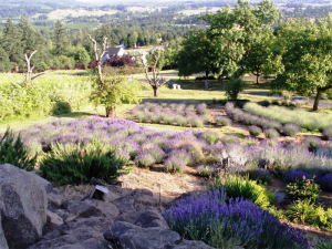 Our Lavender Fields