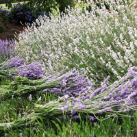 Fresh lavender harvest