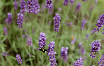 Fresh Lavender Bouquets